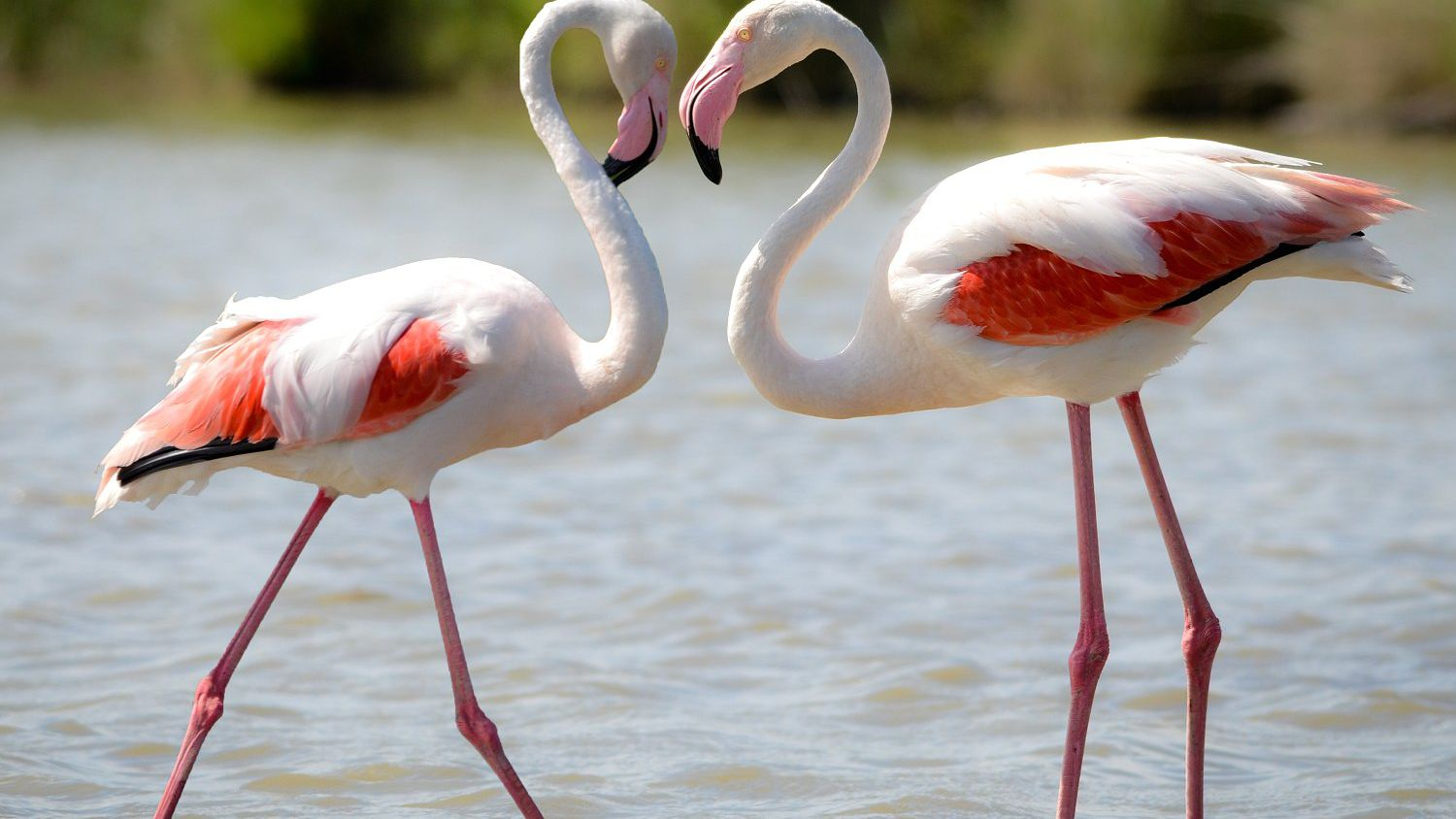 Fun Facts and Trivia About Flamingos