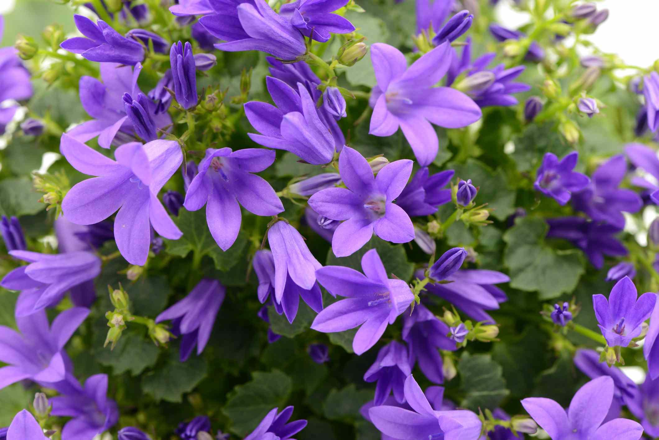Closeup of Serbian bellflower.