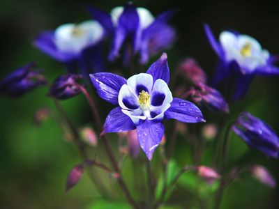 Columbine perennial plant with purple and white flowers and buds closeup