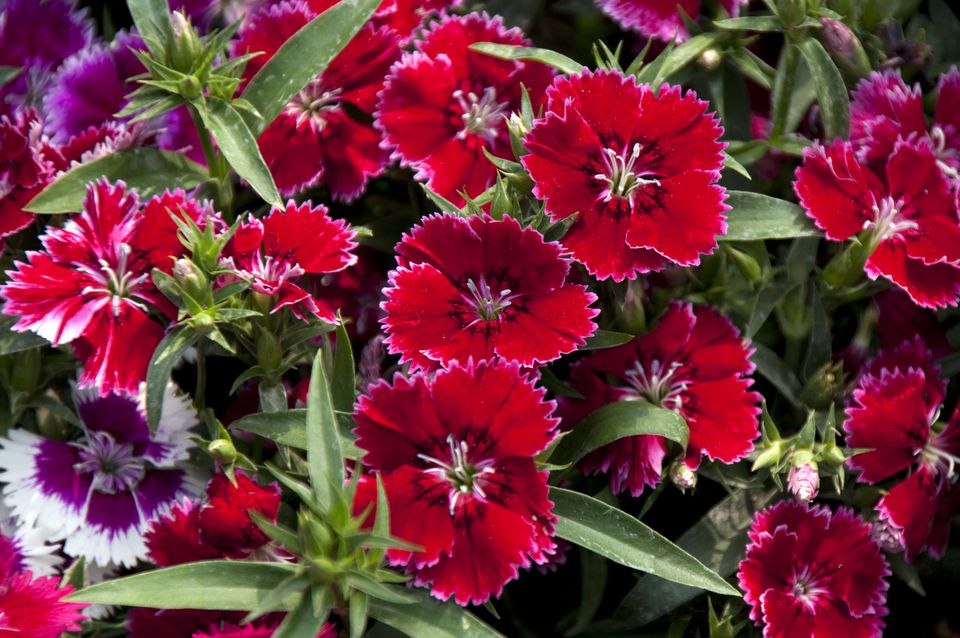 Annual Dianthus chinensis