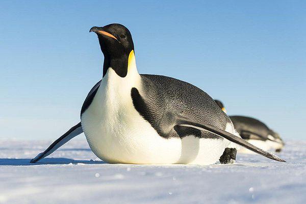 Emperor Penguin Tobogganing