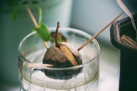 Avocado Seedling Image