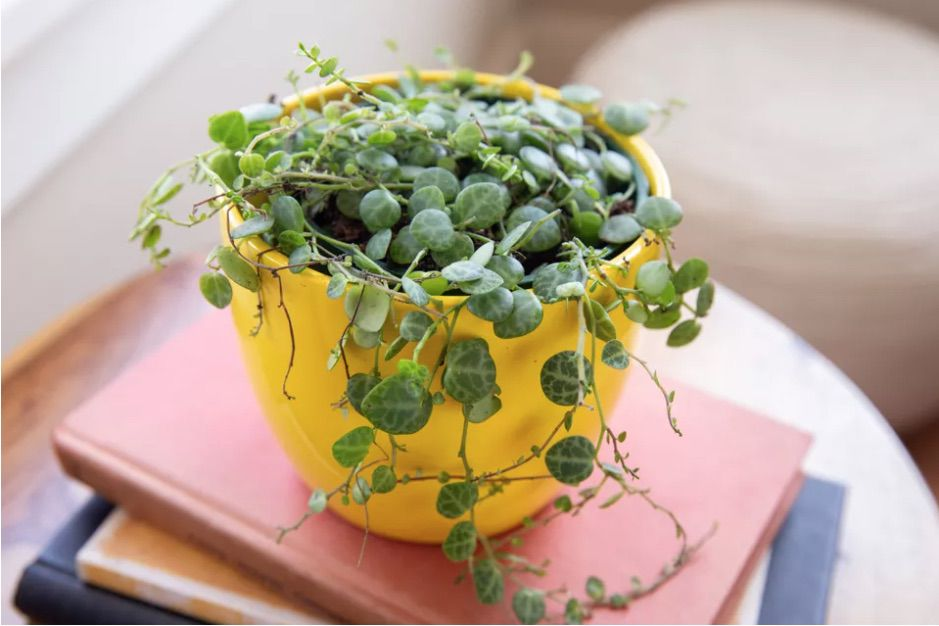 String of turtles (Peperomia prostrata) in a yellow pot sitting on top of a stack of books.