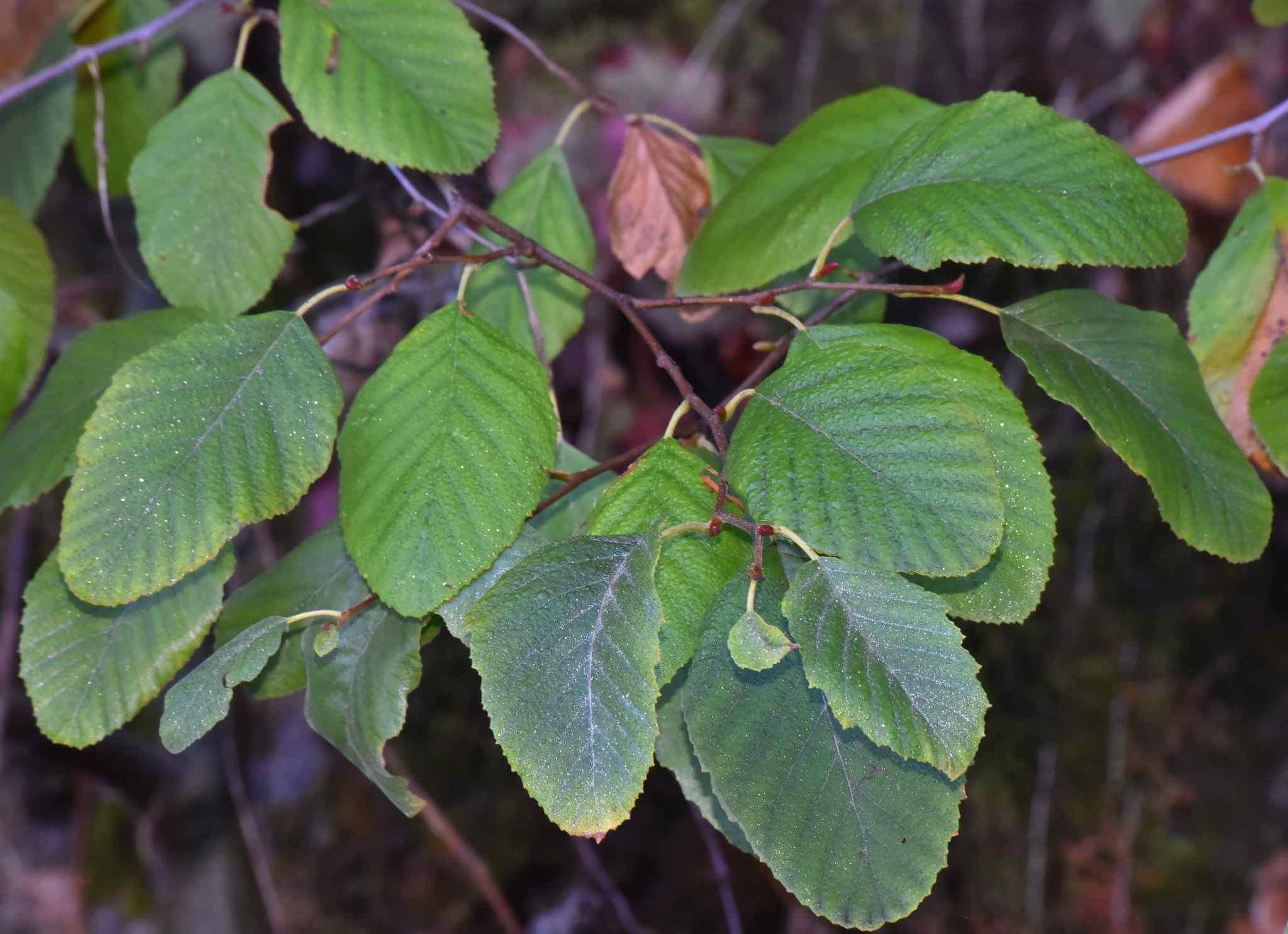 Alder Tree Leaf Identification Www Topsimages Com