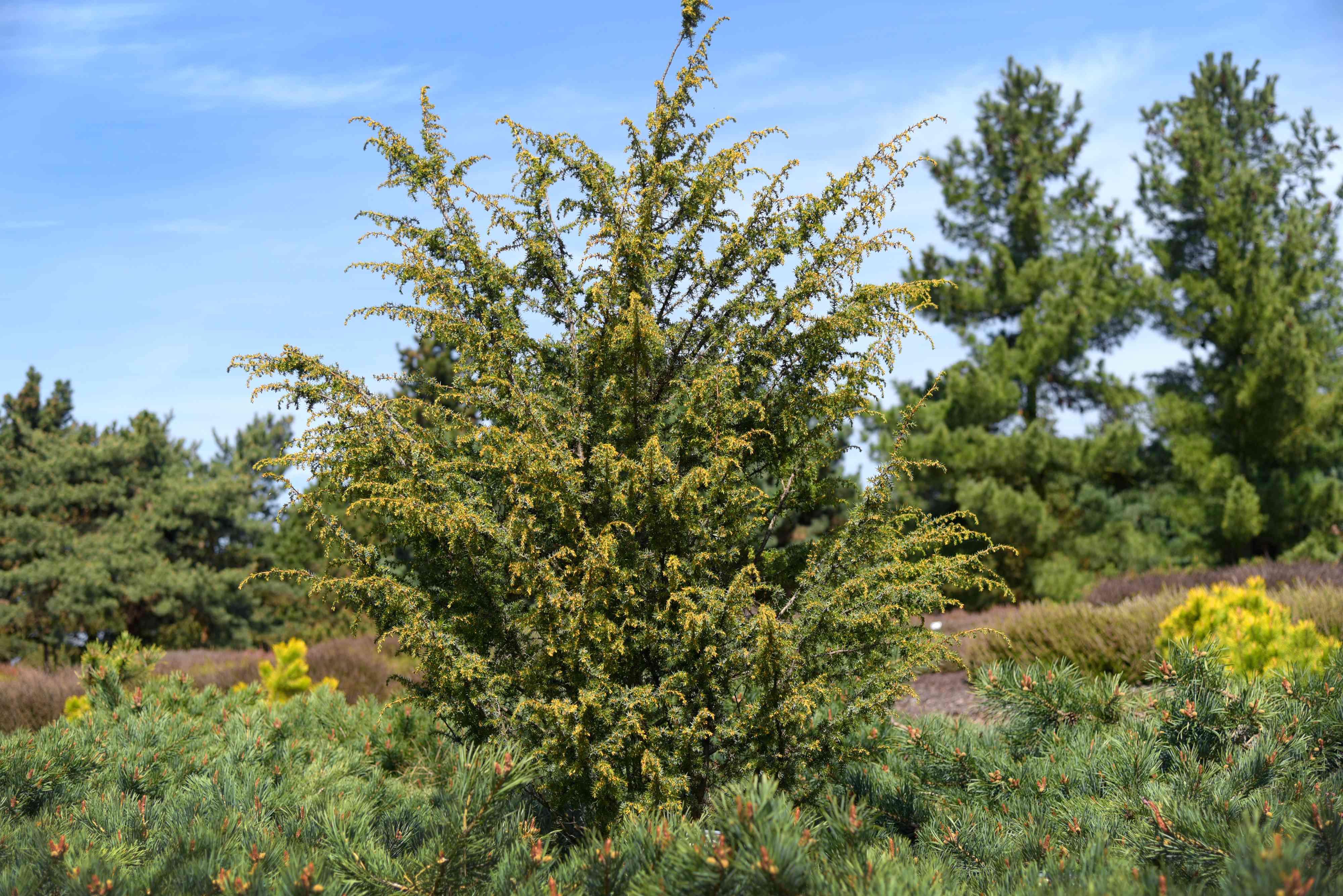 Common juniper 'schneverdinger goldmachangel' with sprawling branches
