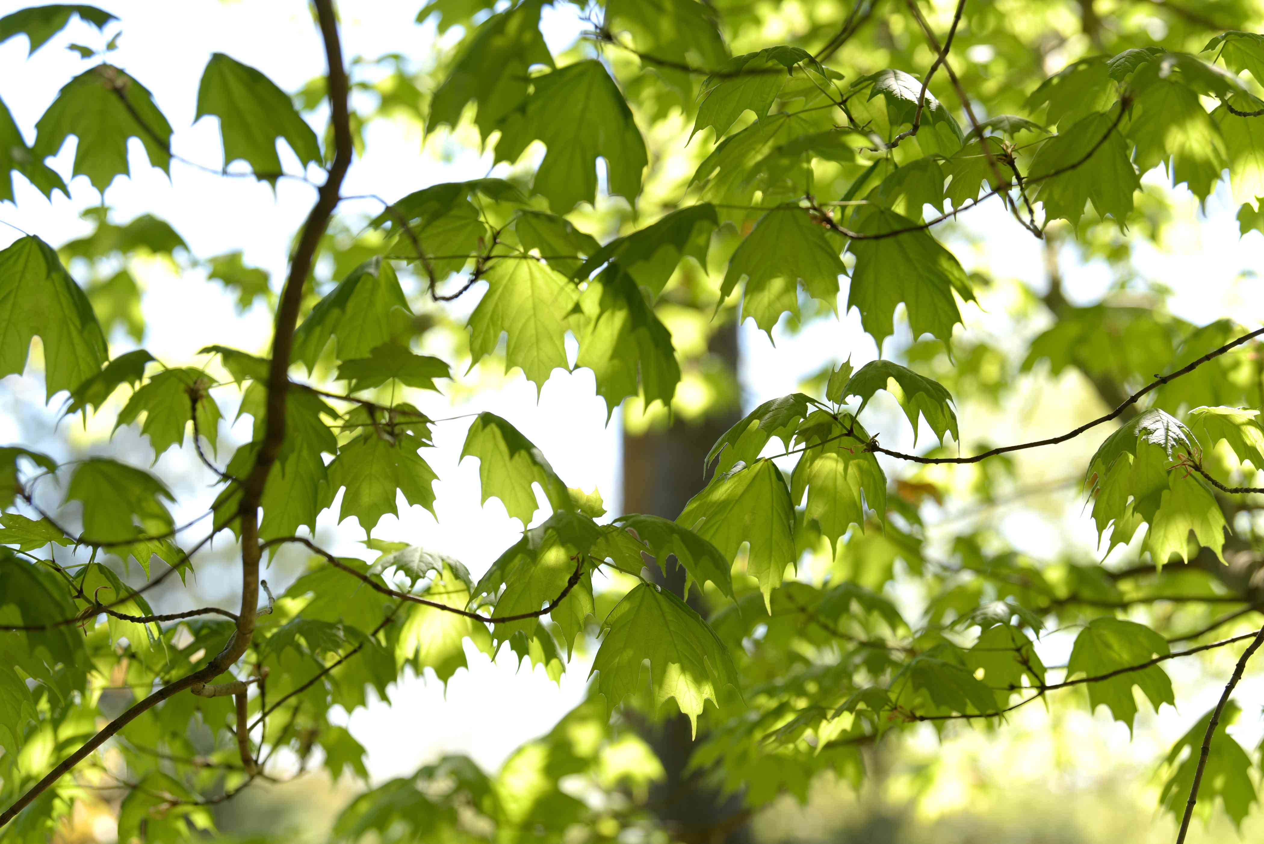Sugar maple tree branches with bright green leaves in the shade
