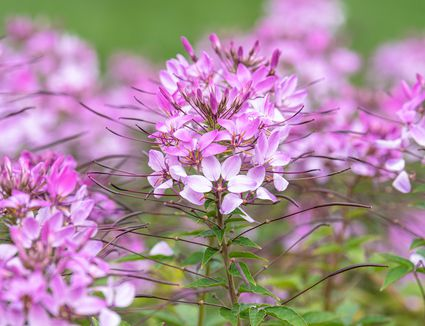 Cleome plant with pink and white flower clusters on thin stem with long stamen