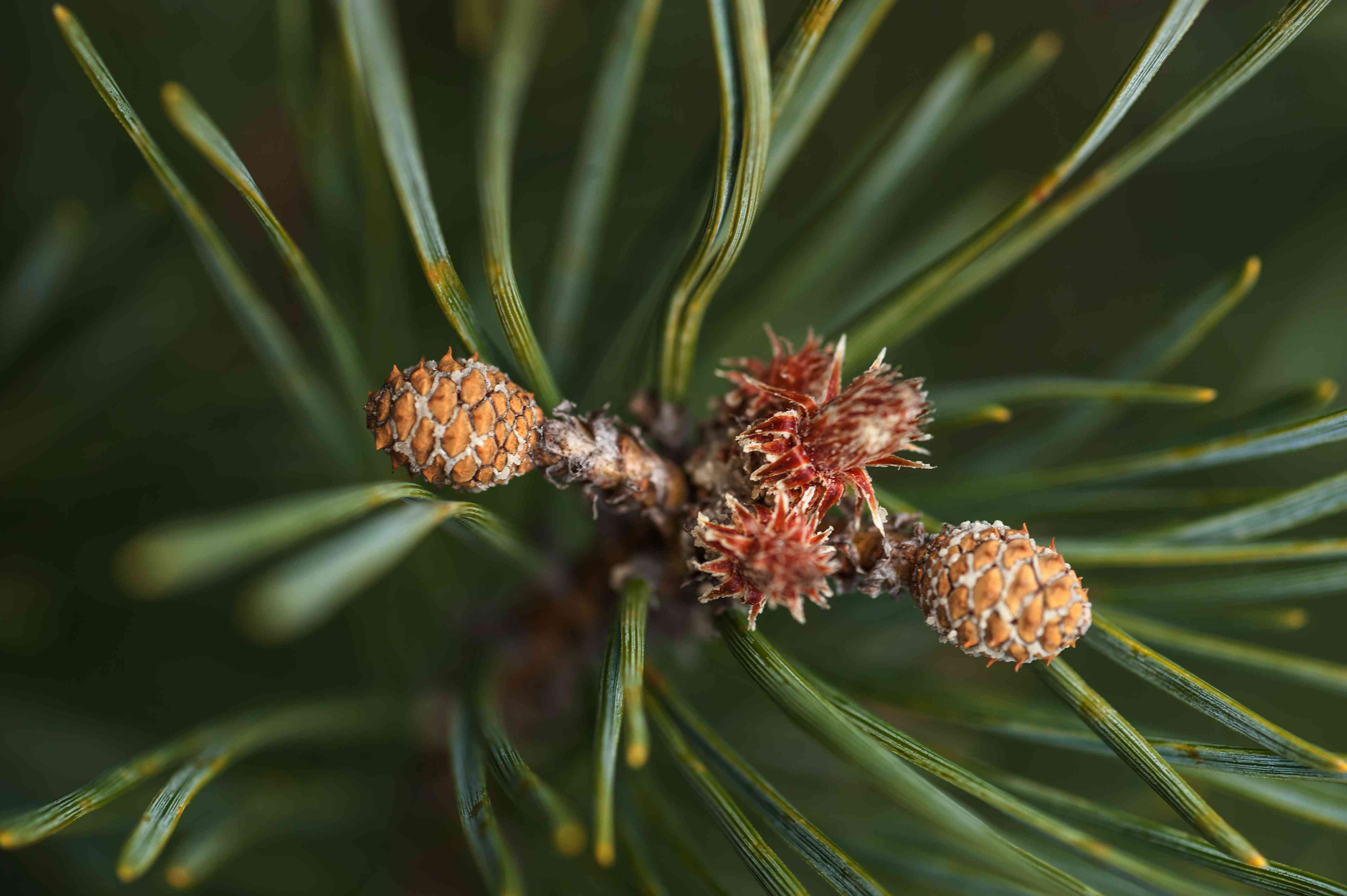closeup of Scots pine