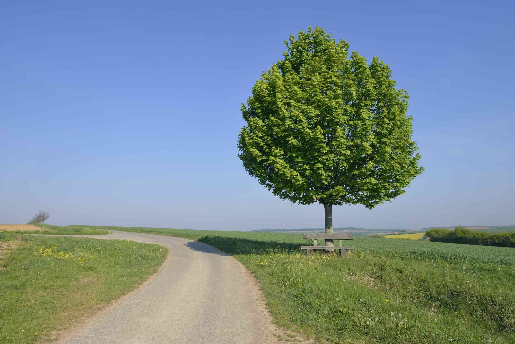 Rural road with solitude tree with bench (Acer platanoides / Norway maple).