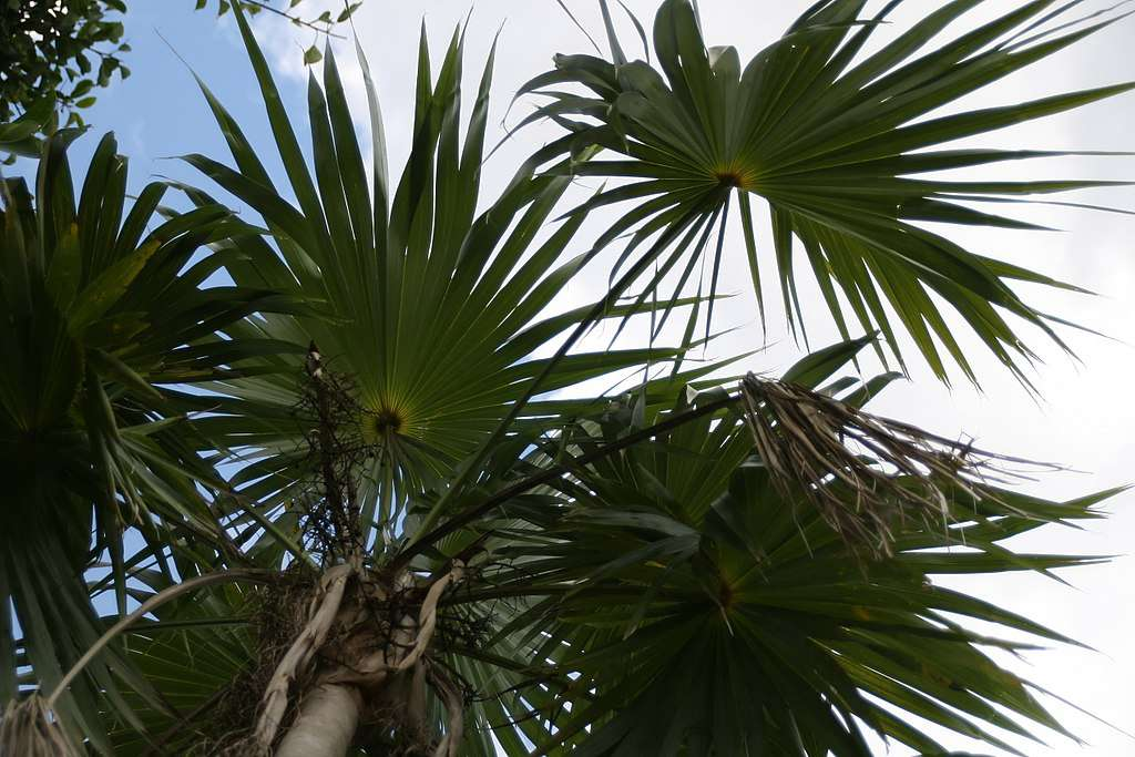 Green fronds of the Puerto Rican thatch palm