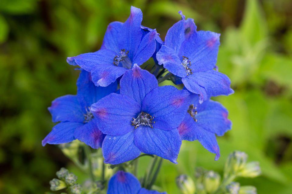 'Black Knight' delphinium plant with semi-double, dark blue-purple flowers closeup