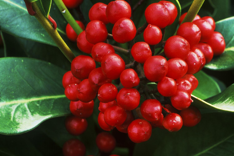 The berries of a female Japanese skimmia (Skimmia japonica) shrub.