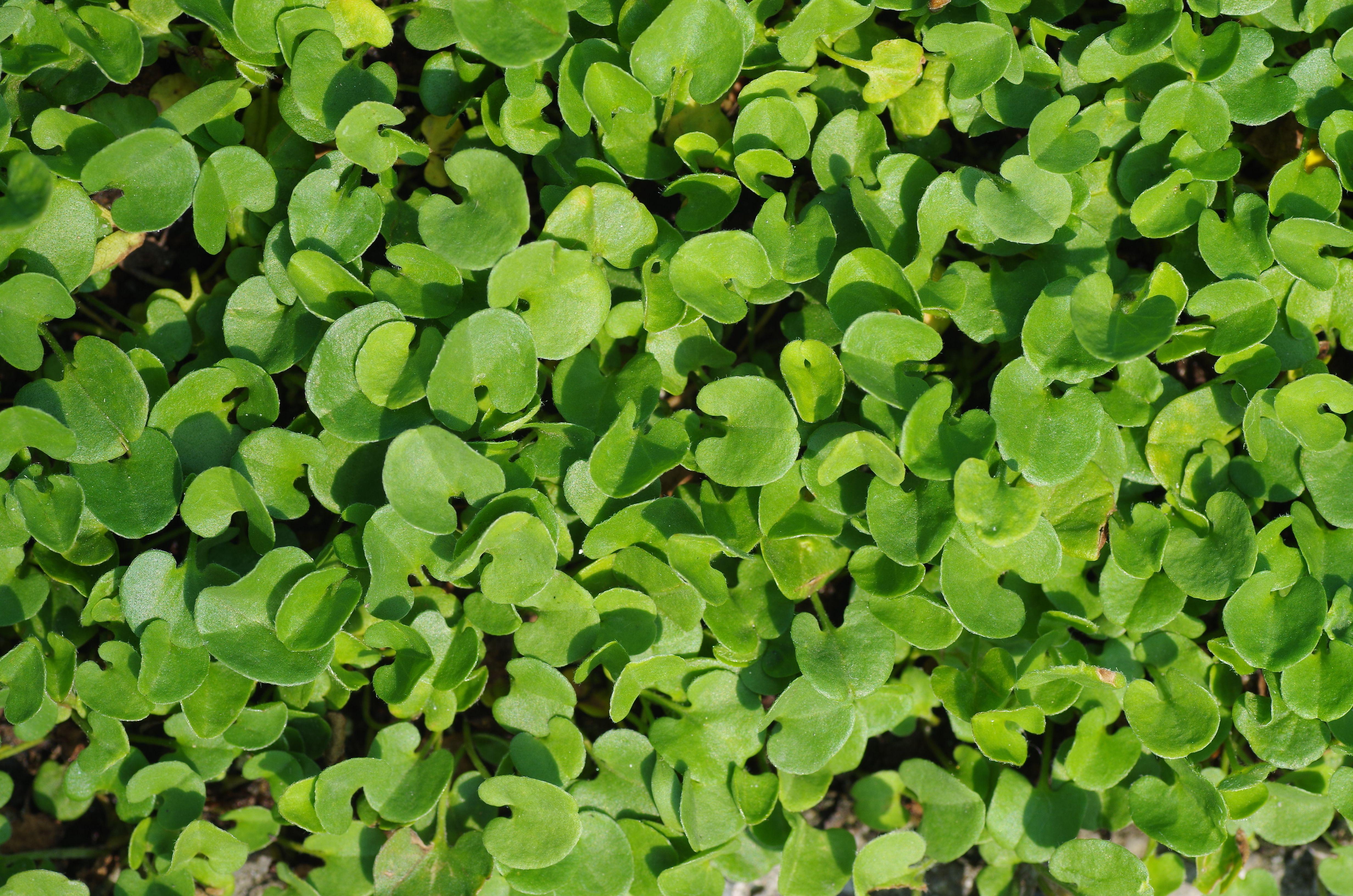 Dichondra (plantas de cobertura del suelo)
