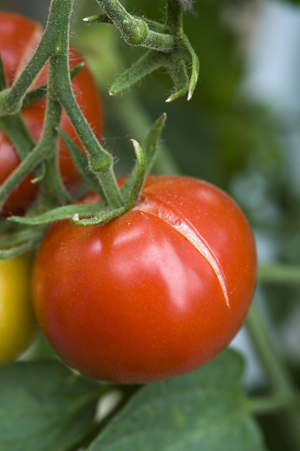 Ripe red tomato with split in skin