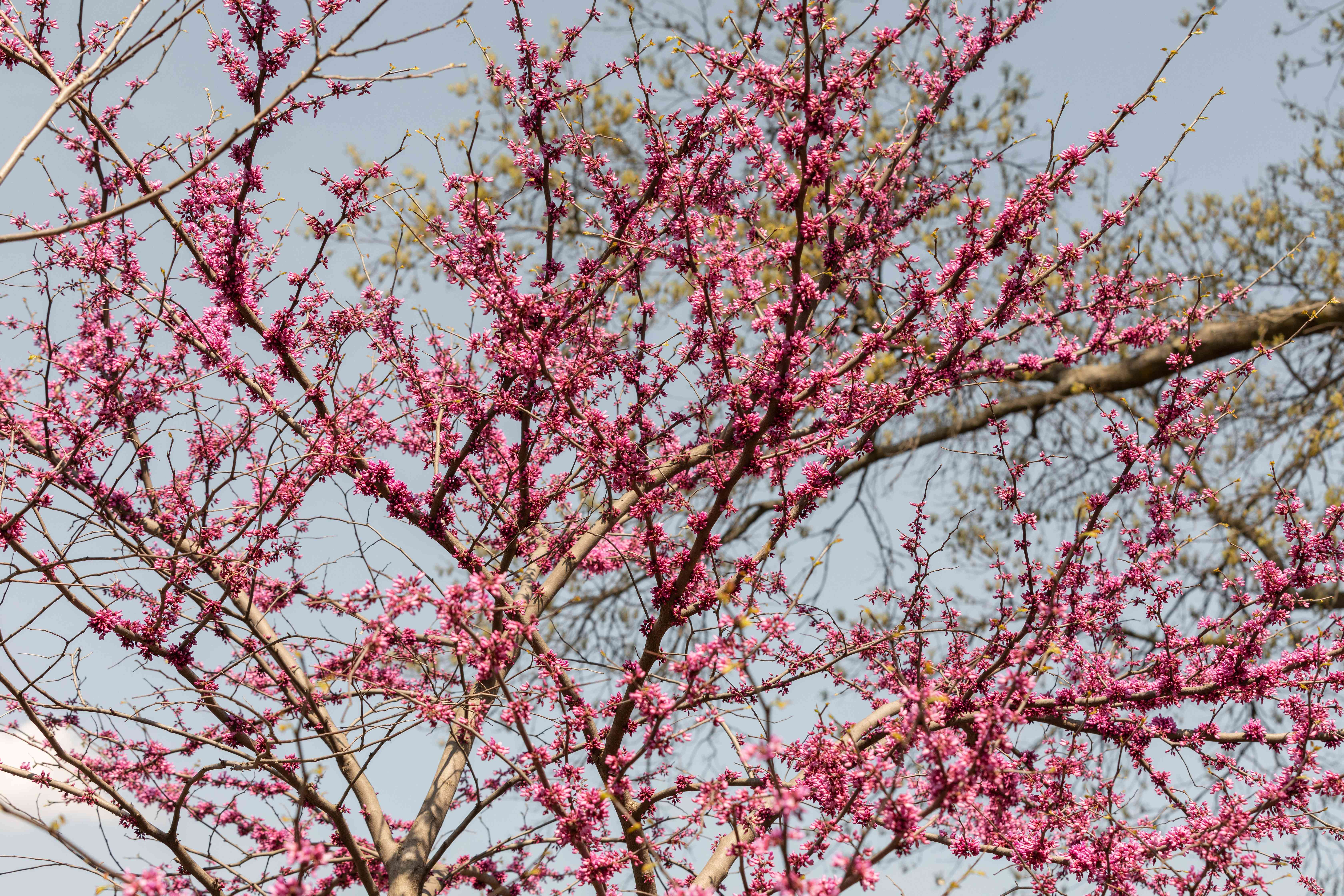 Eastern redbud tree with pinkish-purple flowers on long bare branches