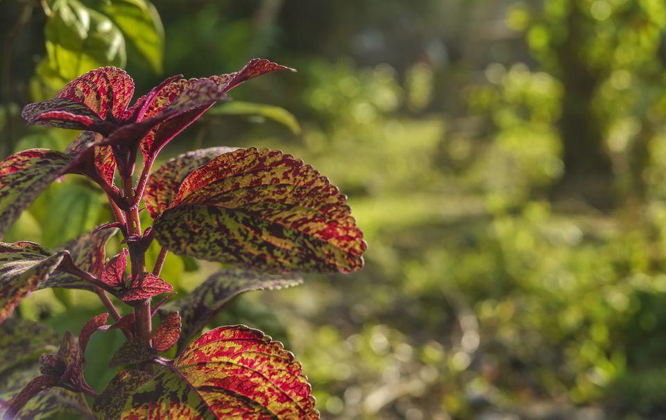 Joseph's coat plant