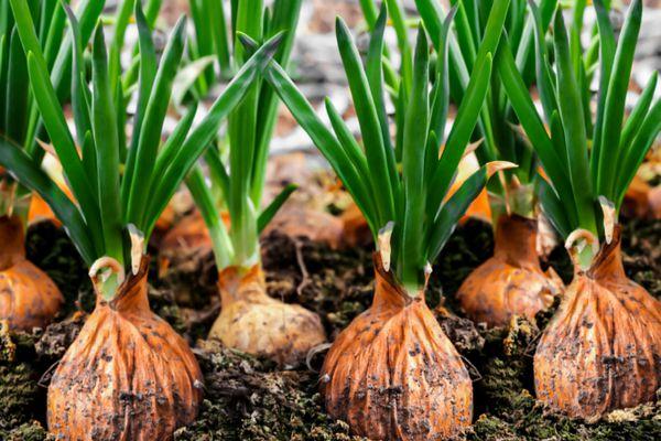 onions growing