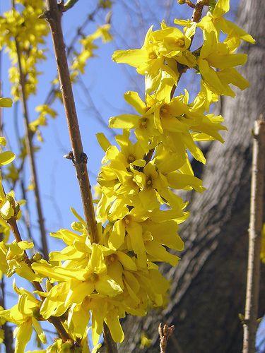 The 12 best spring wedding flowers in season forsythia flowers mightylinksfo