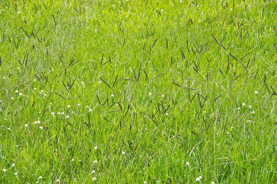 Bahia grass (Paspalum notatum) grass