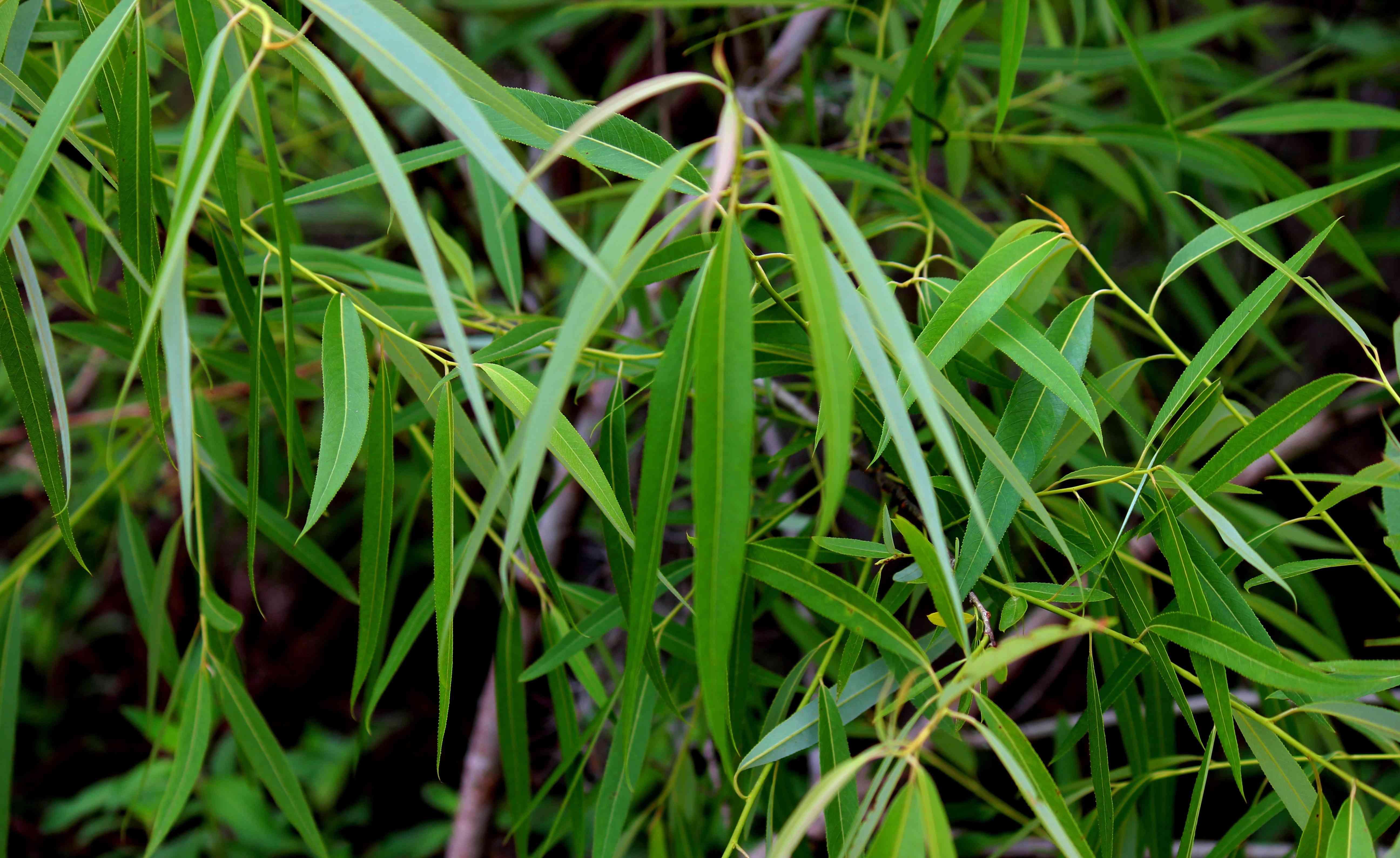 planta salix caroliniana