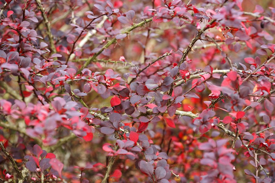 Barberry (Berberis thunbergii) 'Atropurpurea', November