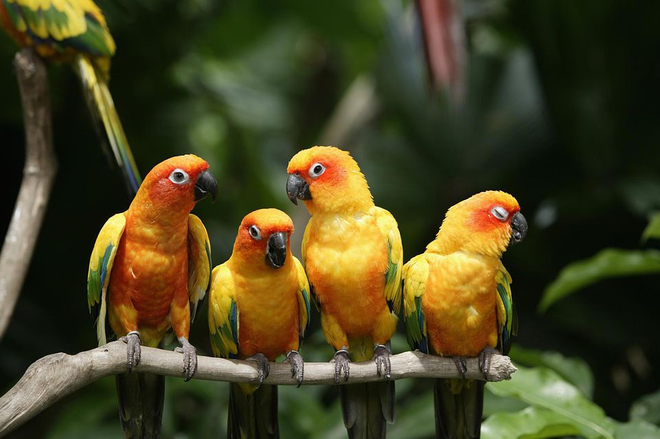 Four Sun Conures (Aratinga solstitialis) on branch, close-up