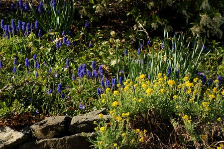 border for spring grape hyacinths and yellow alyssum