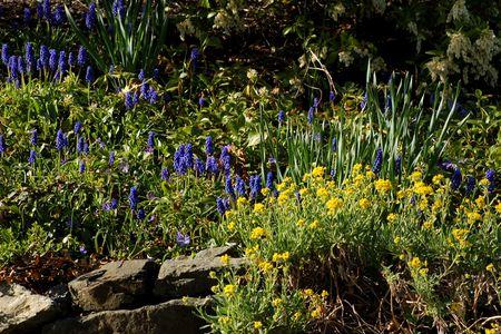 border for spring grape hyacinths and yellow alyssum