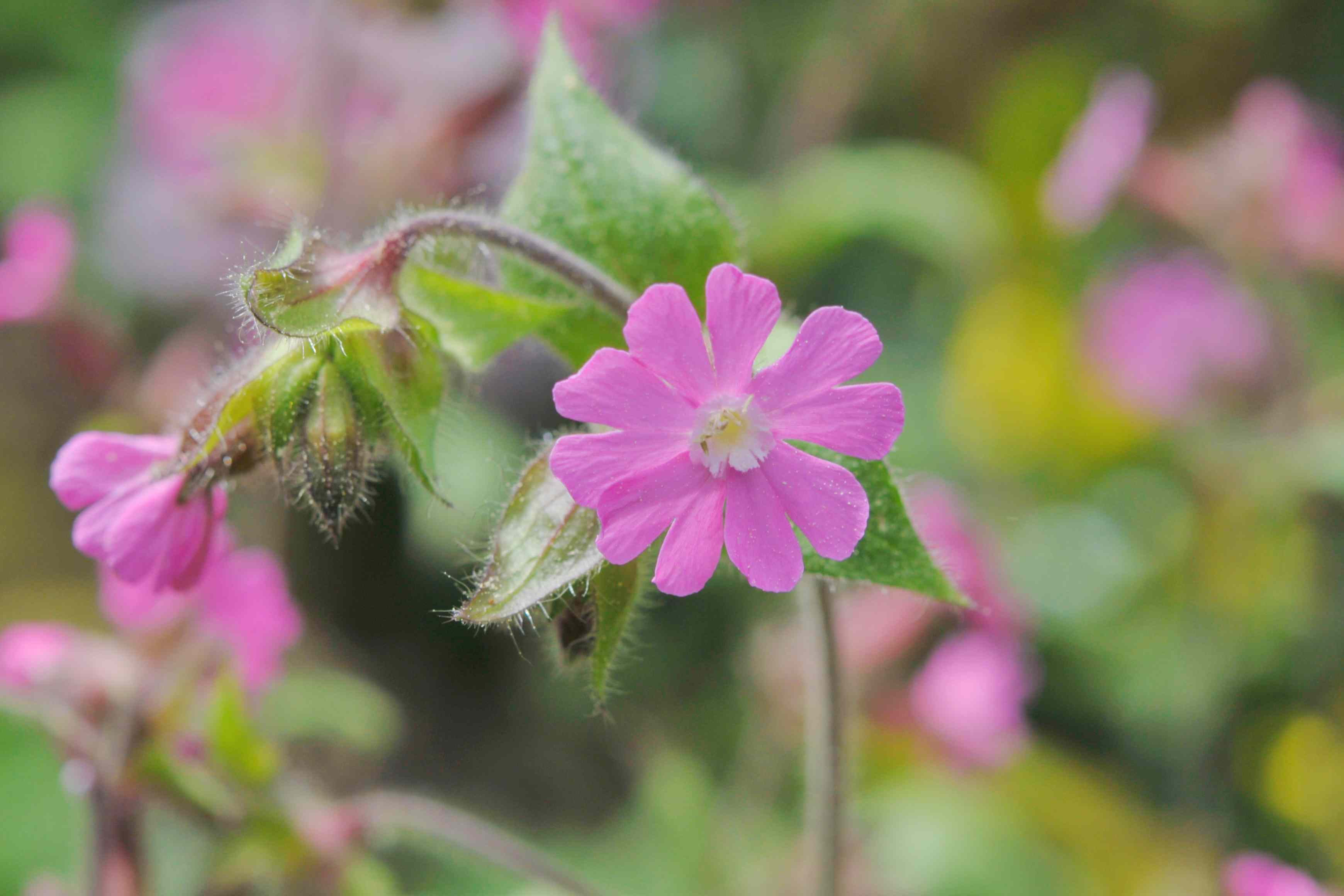 Red campion flower with small pink star-shaped flower and bud on end of thin stem closeup