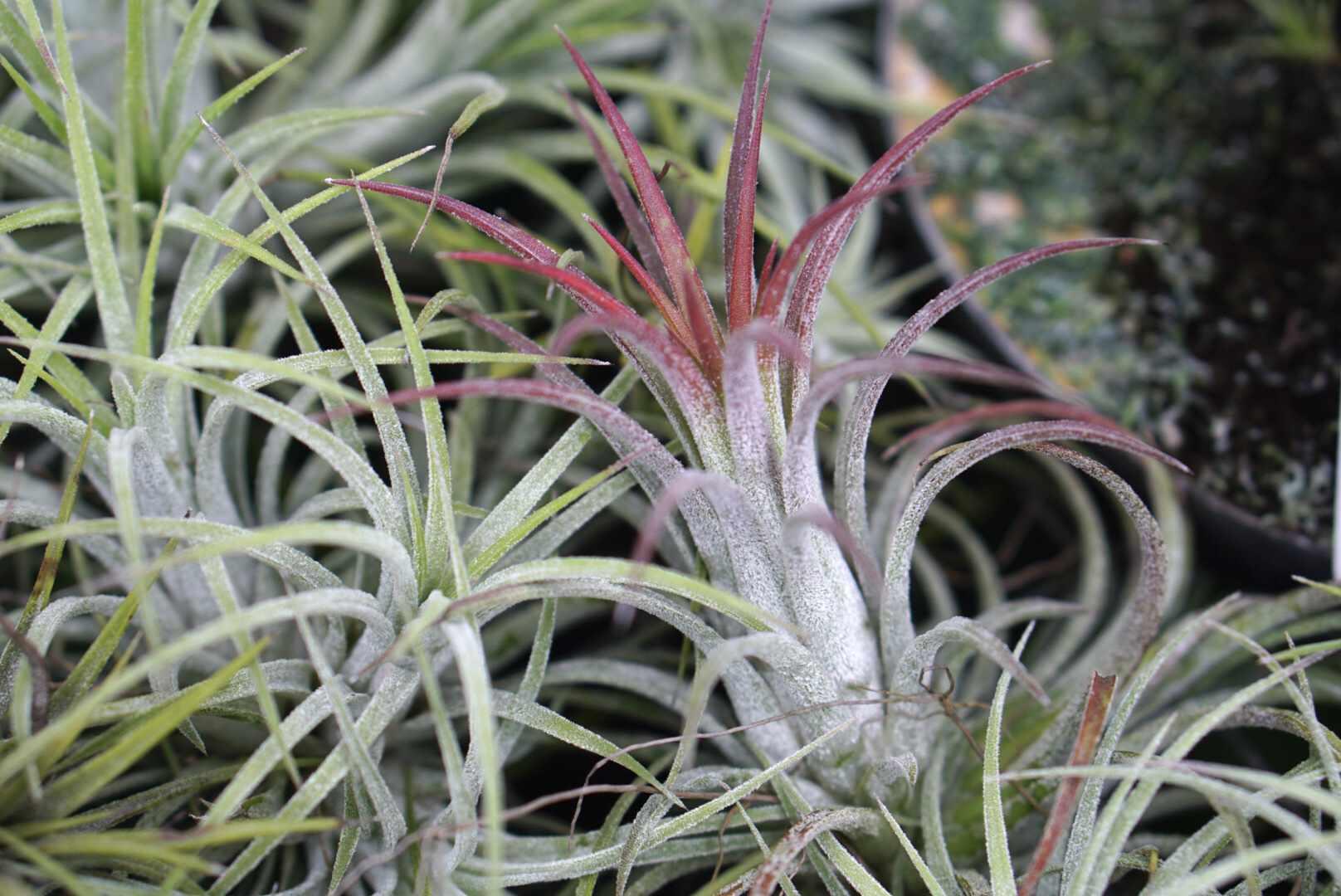 tillandsia ionantha growing to maturity