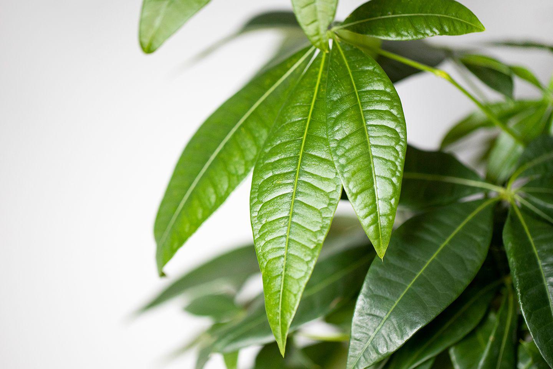 closeup of Guiana Chestnut