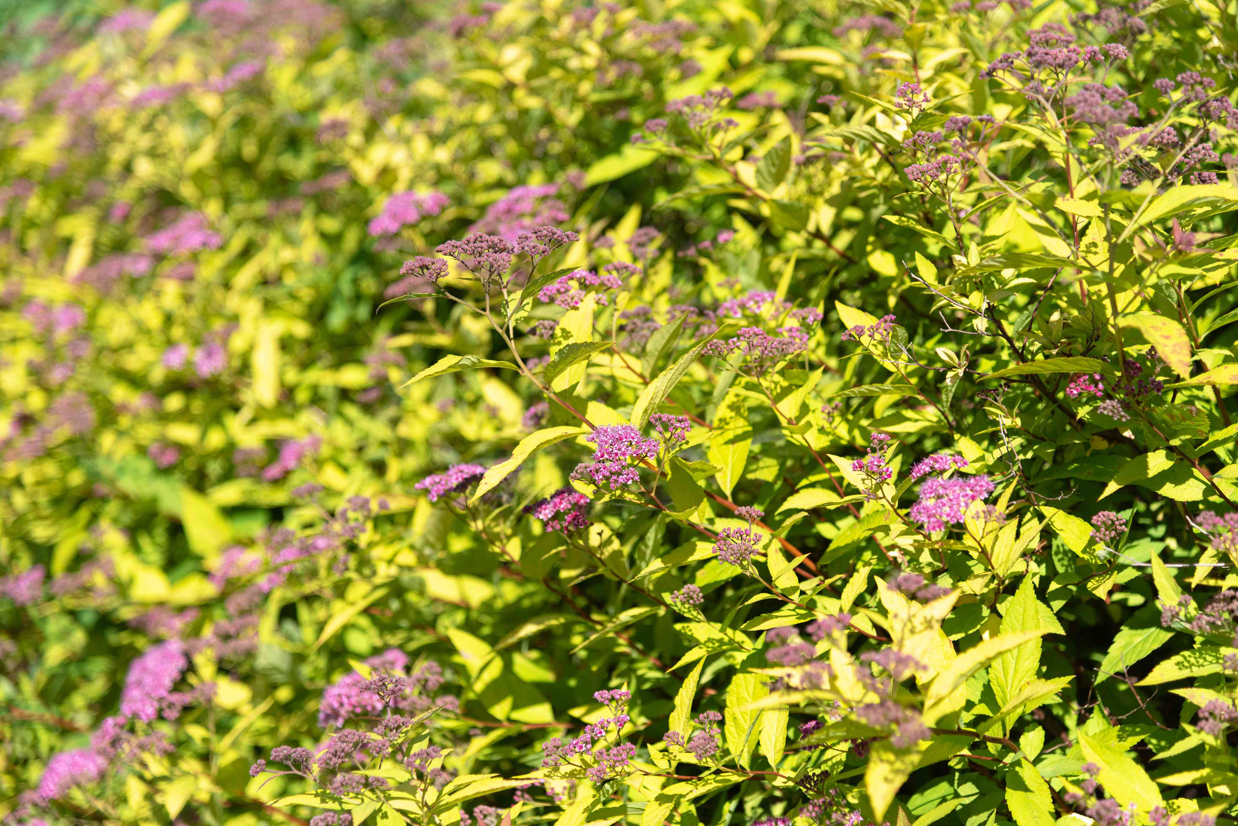 Gold mound spirea plant with golden pointed leaves and small pink flower clusters in sunlight closeup