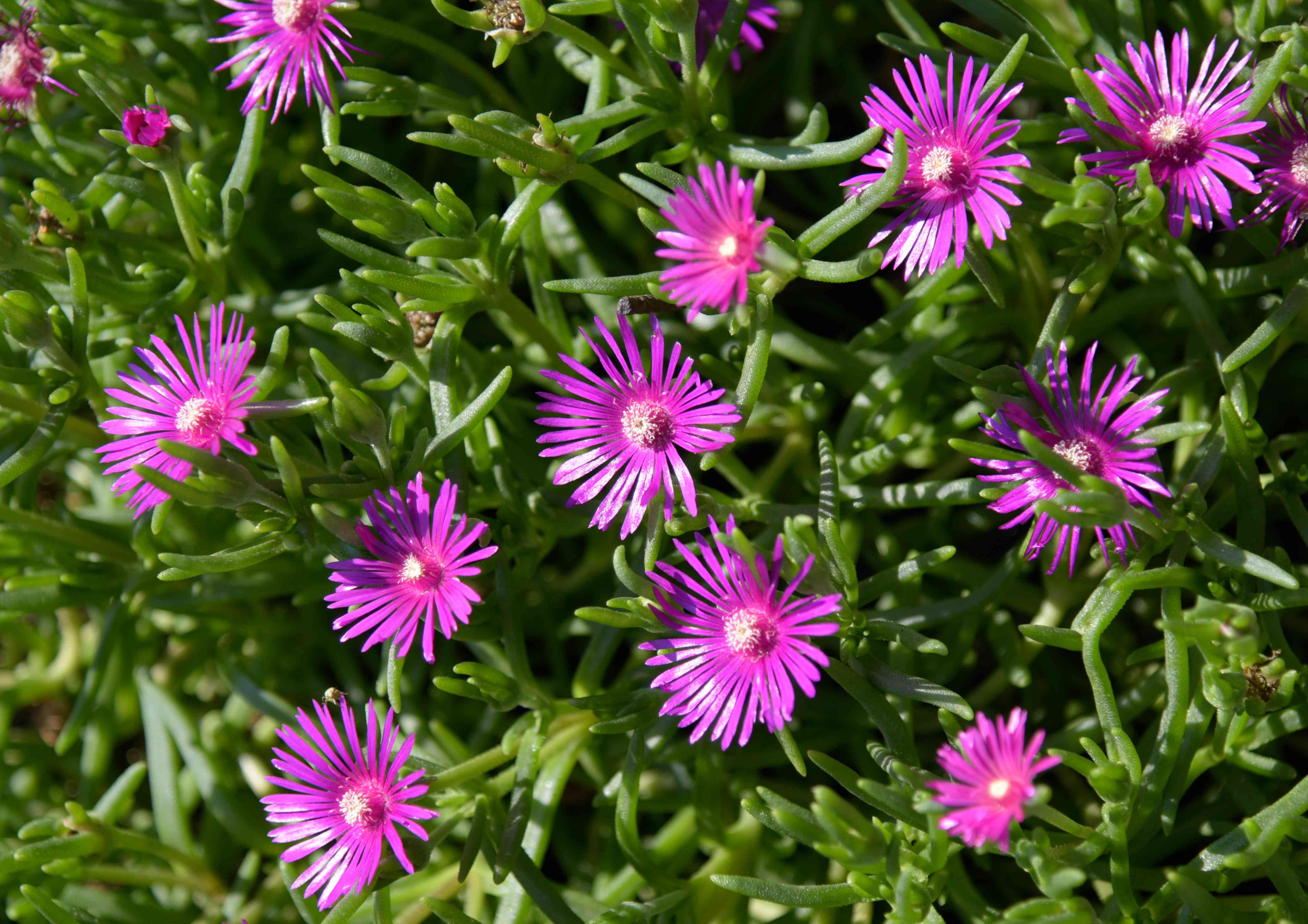 Cooper's hardy ice plant with radiating magenta petals surrounded by succulent-like stems