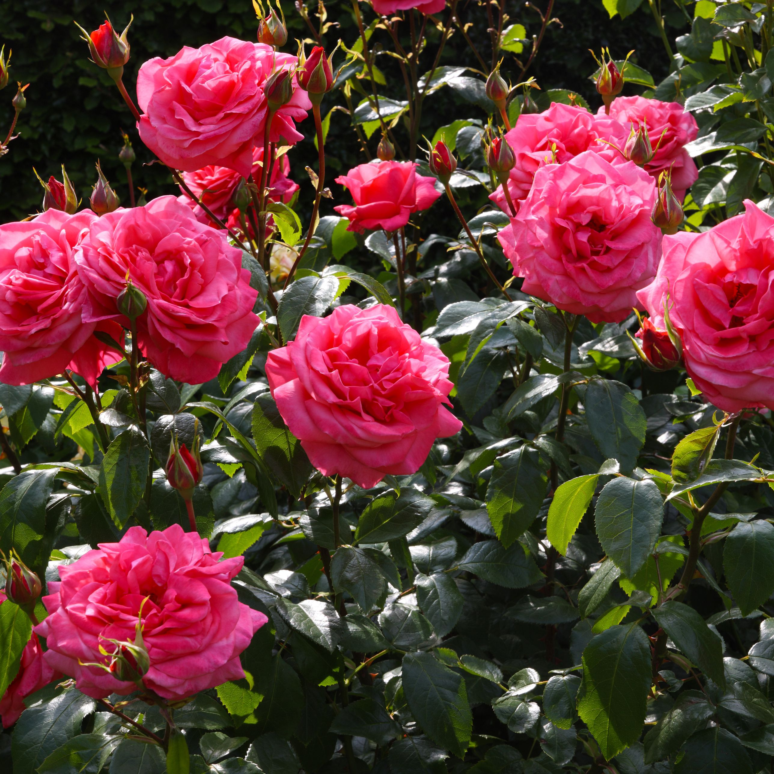 How To Get More Blooms From Your Roses