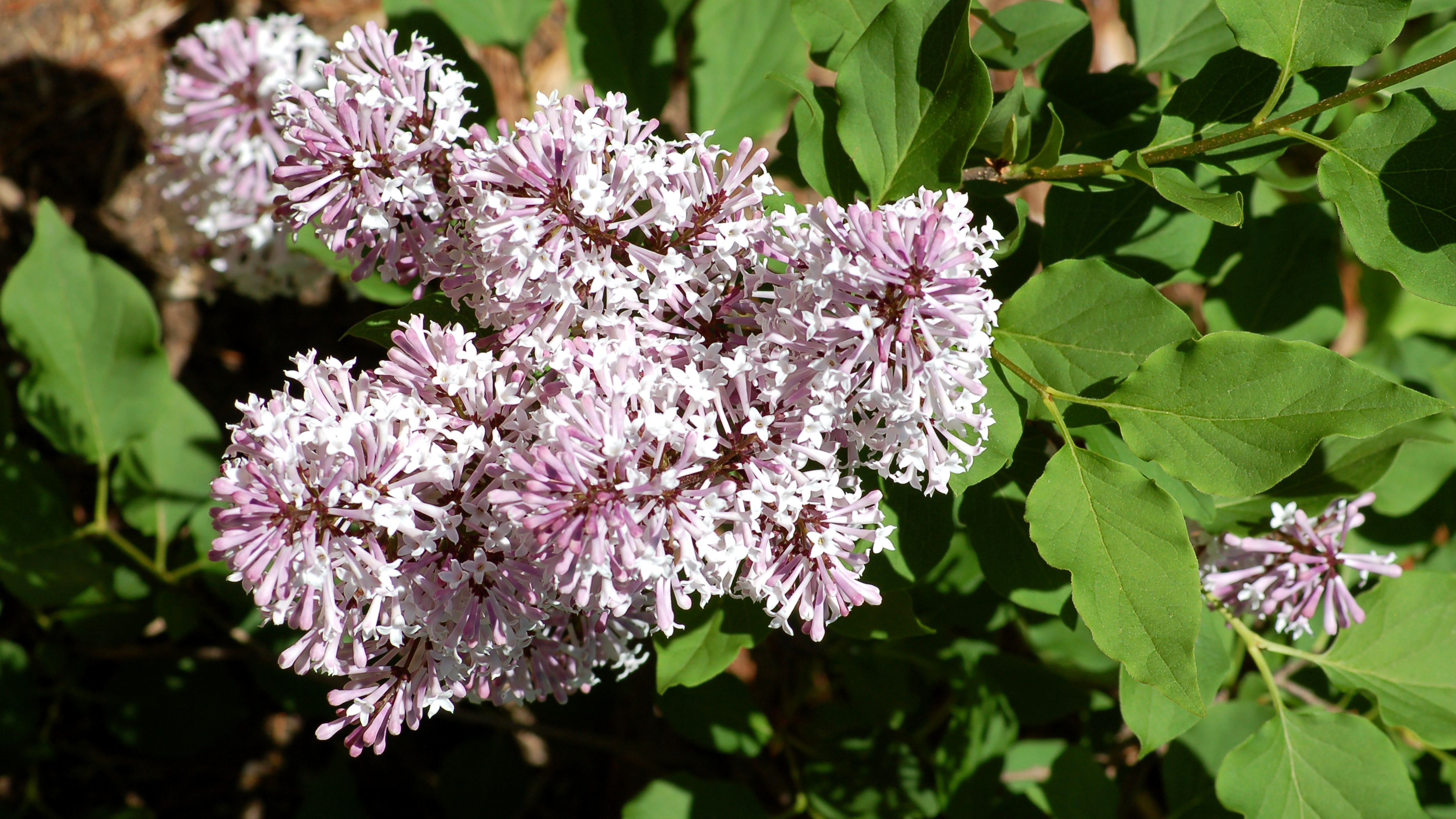 How To Grow And Care For Miss Kim Lilacs