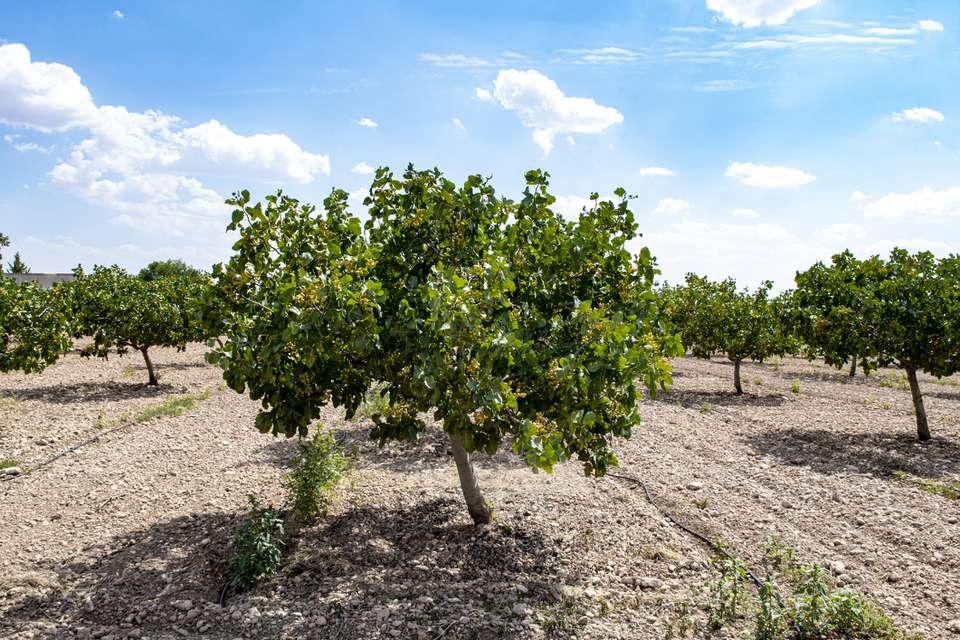Pistachio tree (Pistacia vera) in orchard