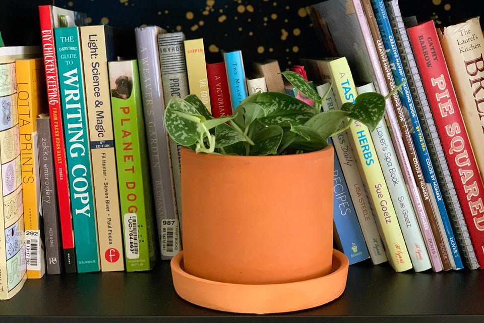 A Silvery Ann Vine (Scindapsus pictus) in a terracotta pot on a shelf with books in the background