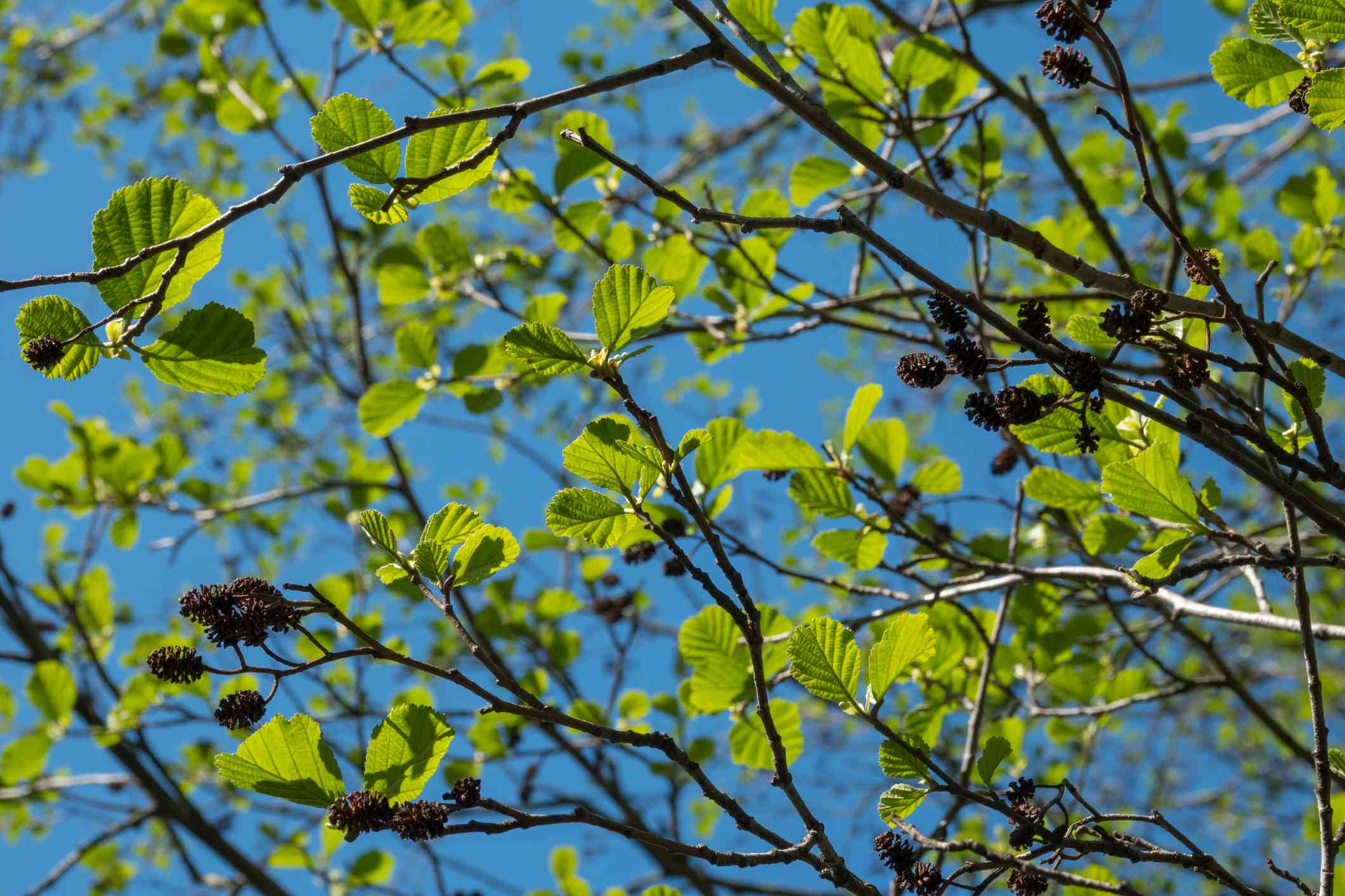 Green young black alder leaves in sunny day