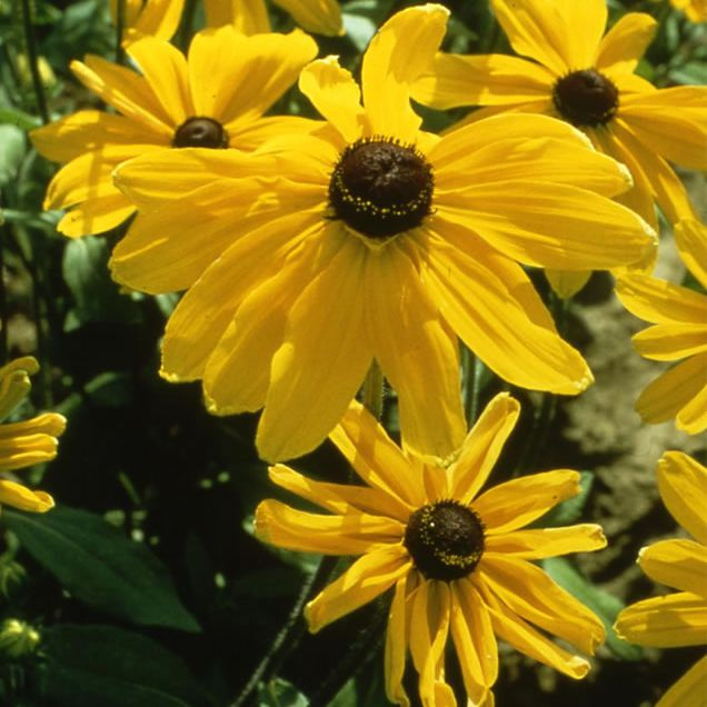 'Indian Summer' rudbeckias with yellow petals and brown centers