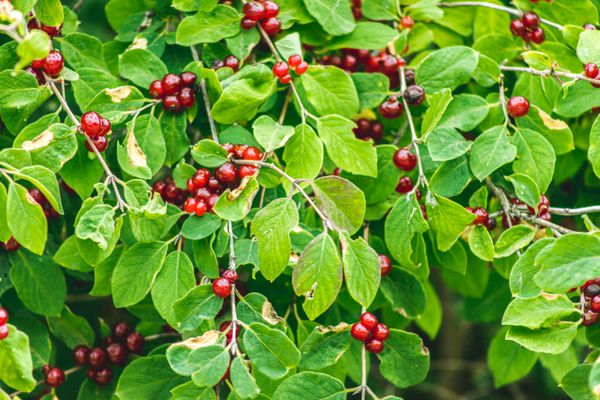 Chokecherry shrub branches with bright and dark red cherries hanging between rounded leaves