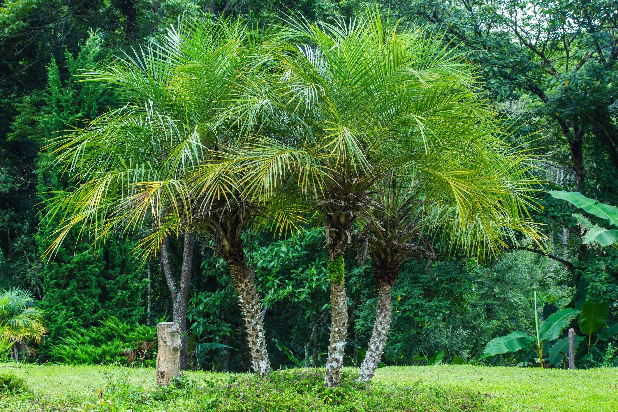 palmera pigmea