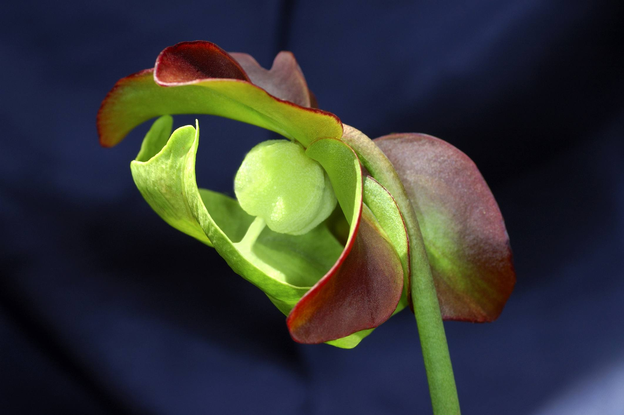 Flower of purple pitcher plant.