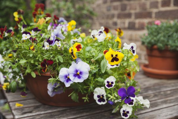 Viola on garden-table in flowerpot