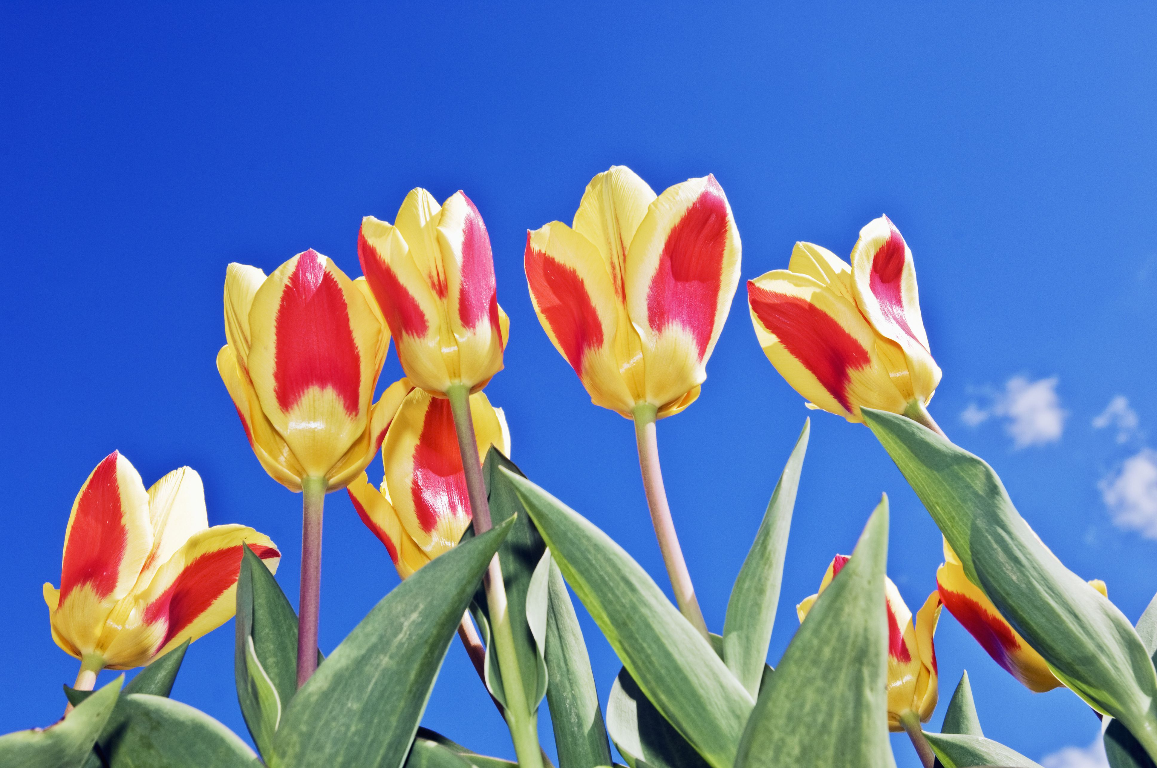 Tulips (Tulipa, syn. T. kaufmanniana) 'Stresa'