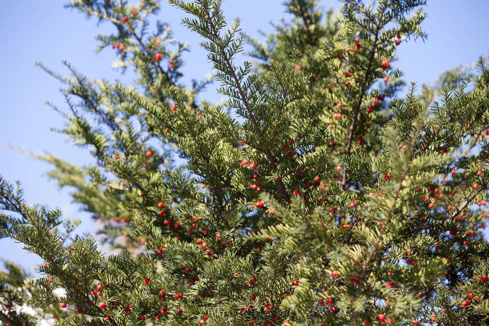 red berries, yew tree, taxus cuspidata