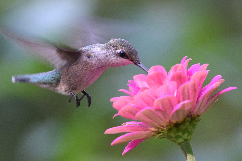 Hummingbird at a Flower