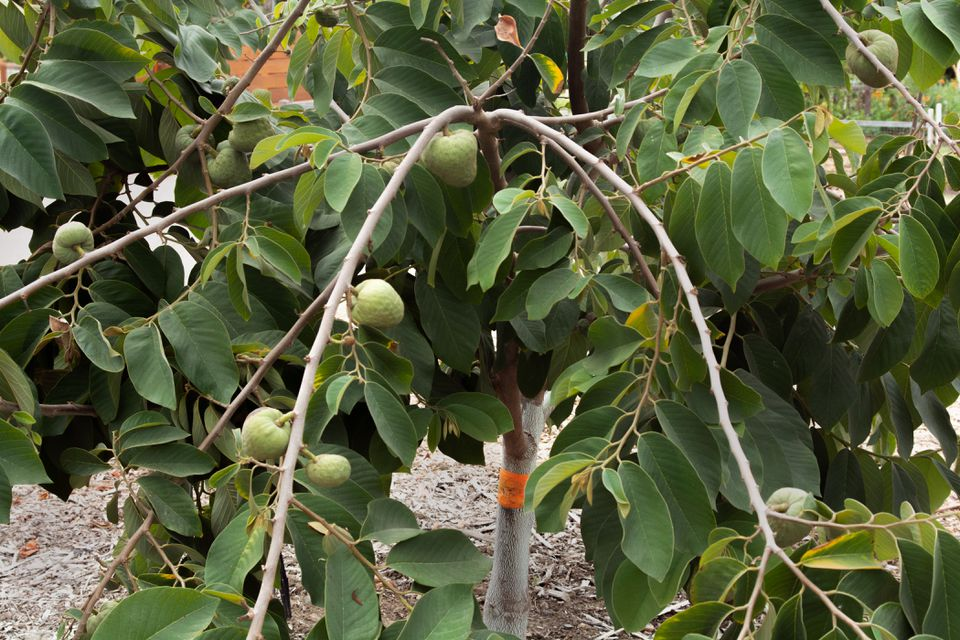 Cherimoya tree with long extending branches, light green fruit hanging next to oval-shaped leaves