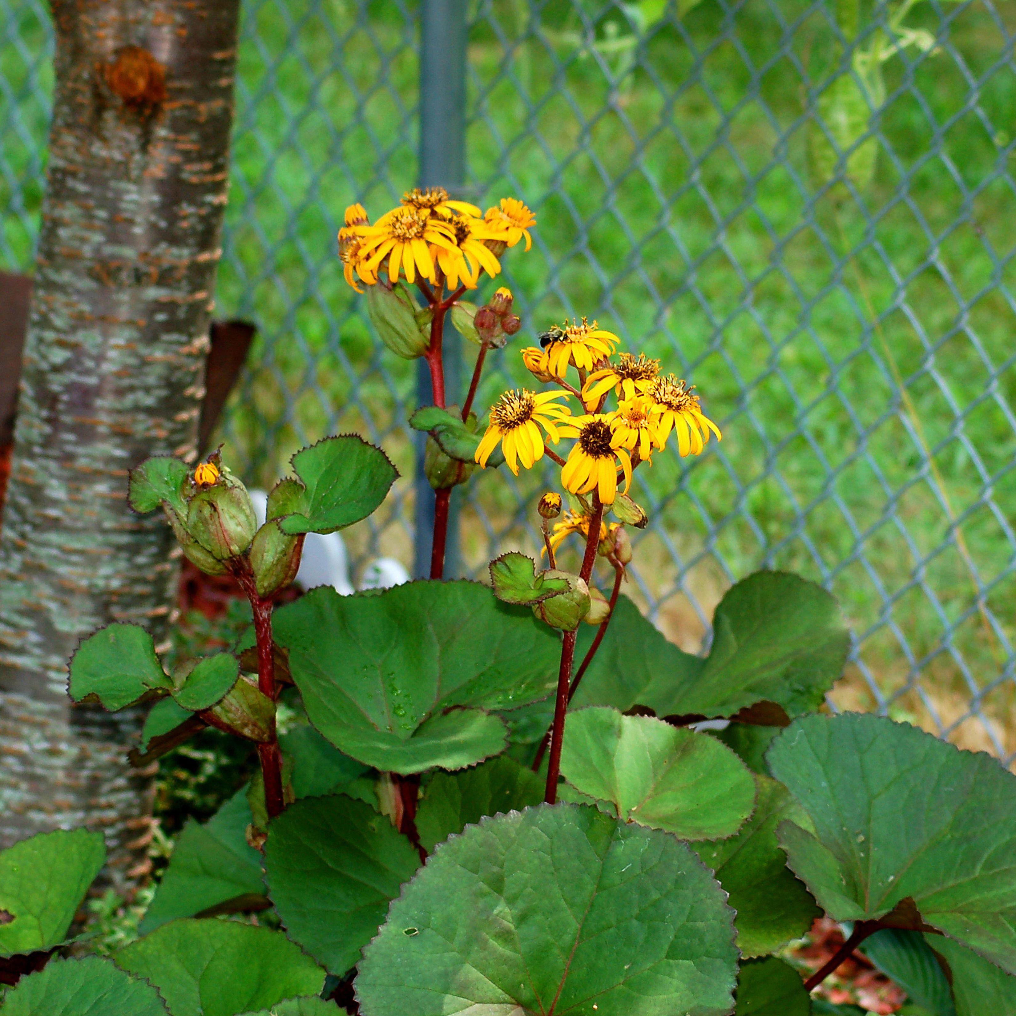 Growing Leopard Plant Ligularia
