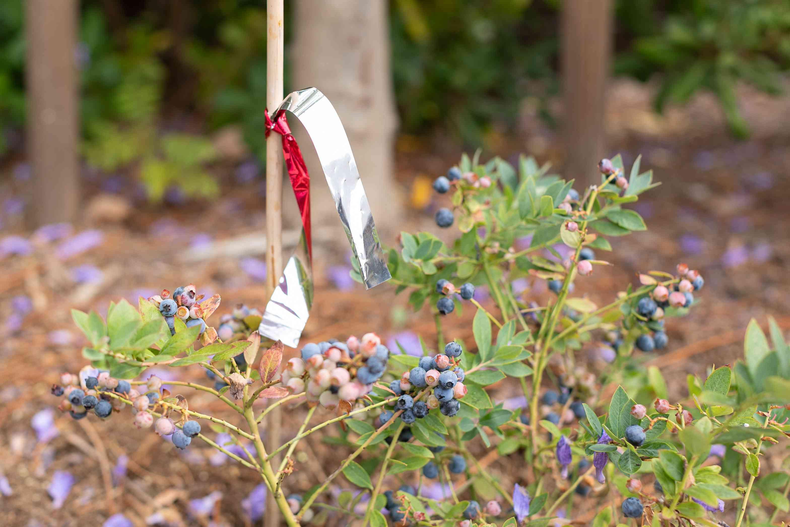 Flash tape tied to thin wooden pole to prevent birds from eating blueberry bush