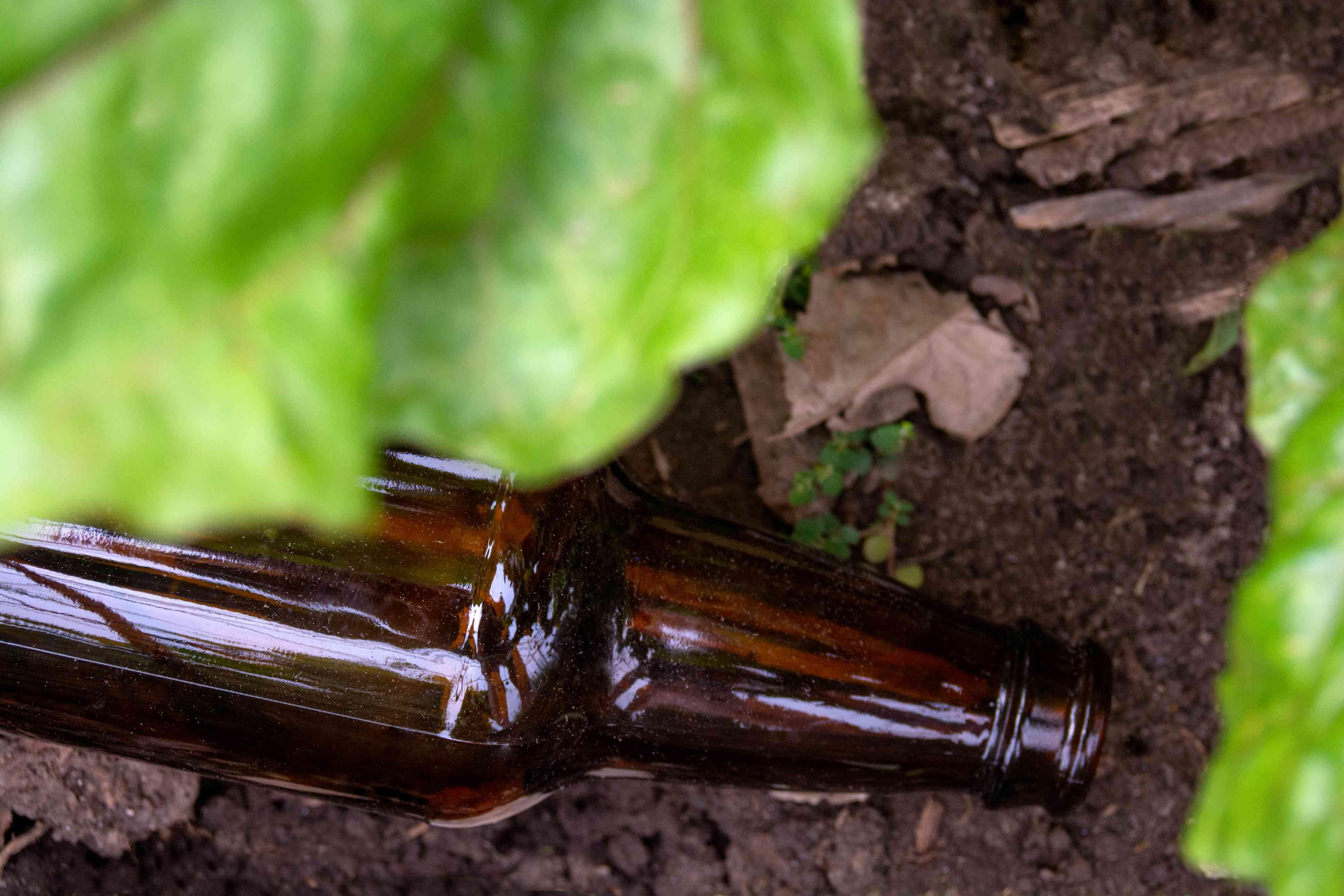 Brown beer bottle pouring beer in garden to prevent slugs